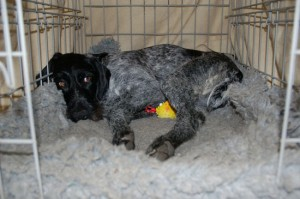 Tippex, my GWP with her plastic fish puppy