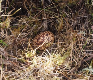 Grouse nest with one spotty egg