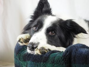Collie on Nest Dog Bed With Optional Nest Cover