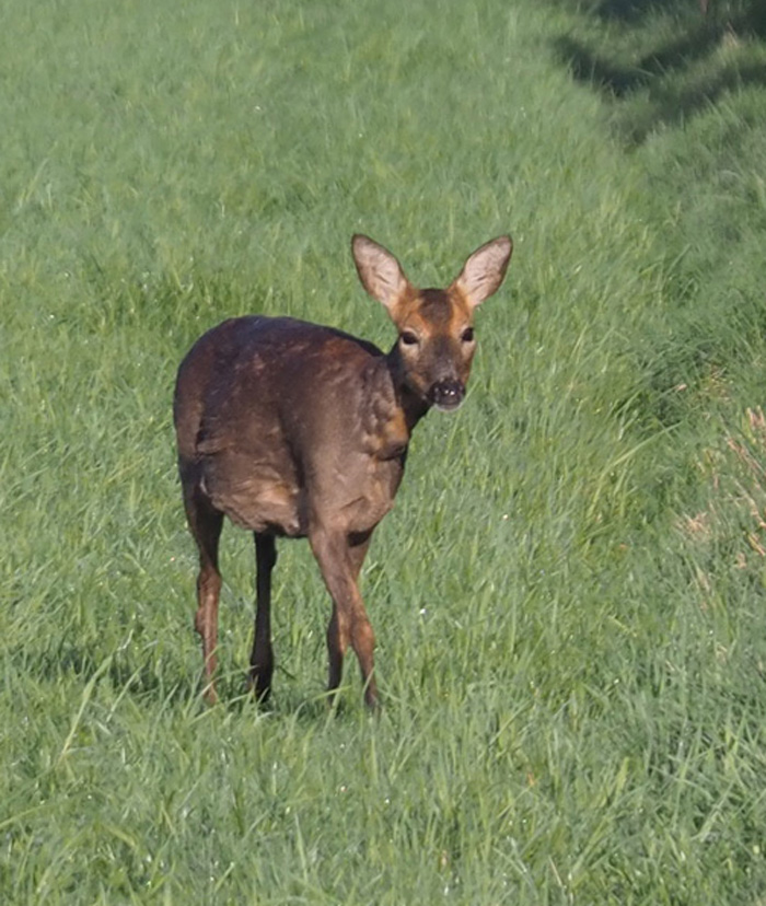 Highly pregnant roe doe. Molting the winter coat.