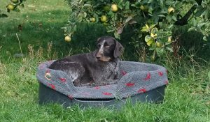 Gaia, GWP, very happy in a Raised dog bed under the apple tree.