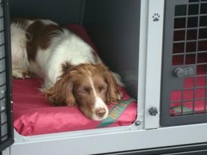 Spaniel on waterproof dog bed in car