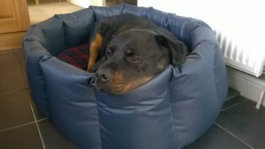 Rotweiler in an XL Wipe Clean nest