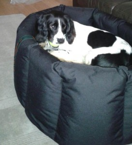 Spaniel enjoying a waterproof nest