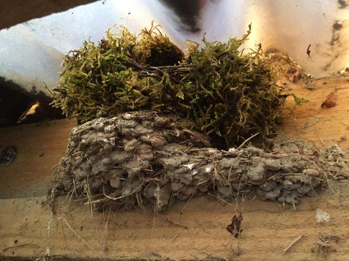 Wren nest built on top of an old swallow's nest.