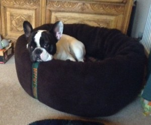 French Bull Dog in a nest. The sides are VERY tempting for chewing.