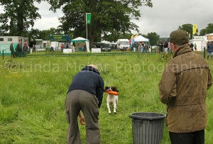 Spaniel retrieving dummy at scurry.