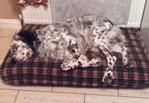 Flint on his Tuffie bed with Luxury Fleece.