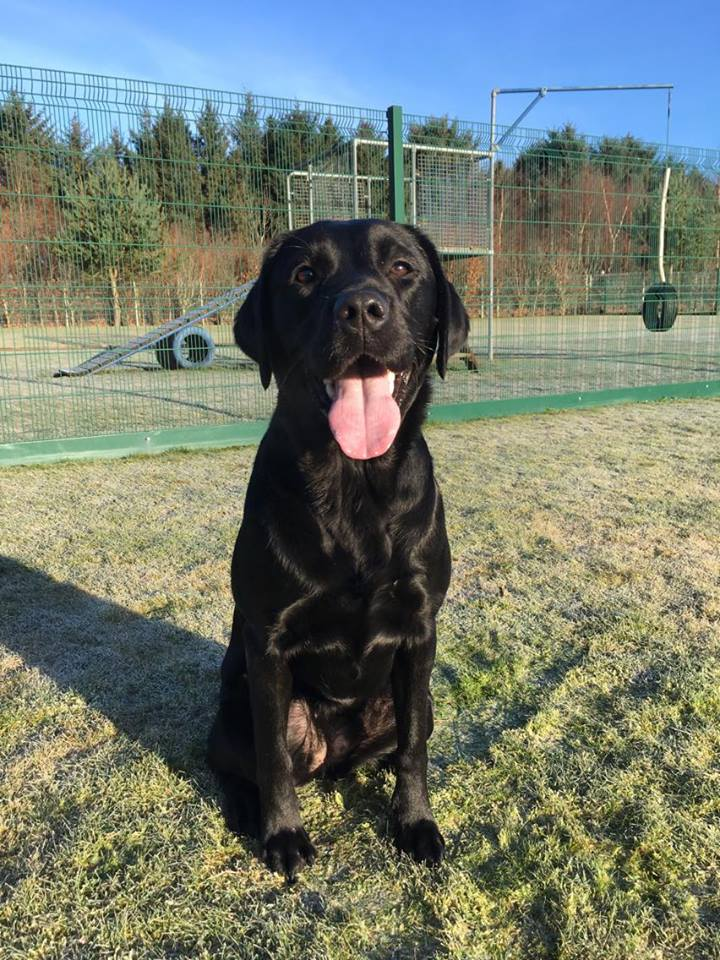 Kassie the black lab sitting on the frosty grass
