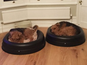 Two Airdales in a chewproof bed each. The solution to the problem.