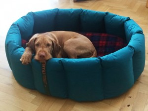 Wirehaired Vizsla puppy in a nest that is too big. For now!