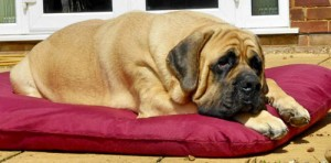 Maxine Pearson's Bullmastiff very happy on a Tuffies dog bed.
