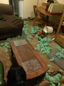 Dog bed chewed to millions of pieces. NOT a Tuffie.
