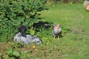 Tippex, the GWP, in garden with a hen. Sunshine.