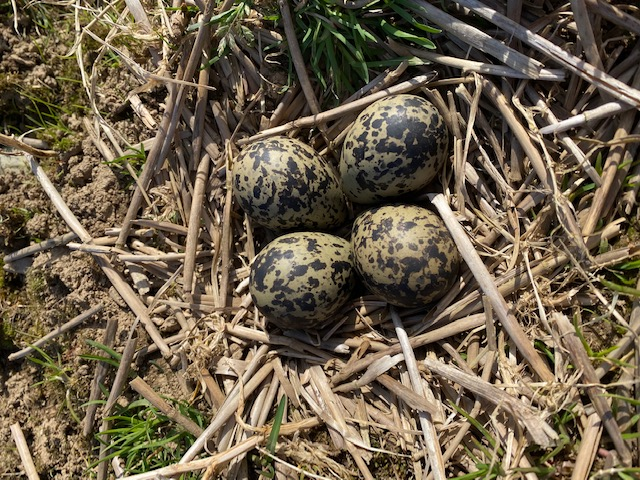 Lapwing nest with eggs